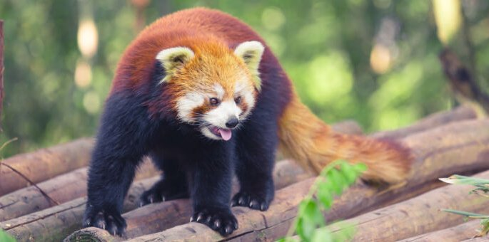 The red panda of the Internet just keeps getting better.